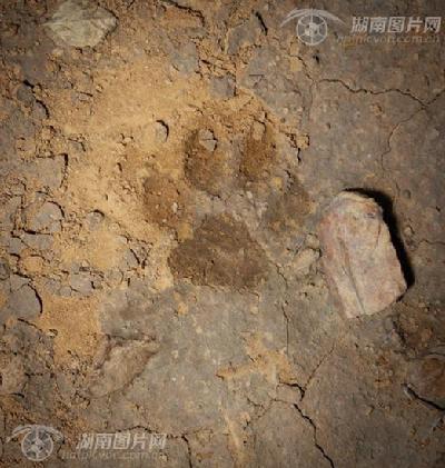 大型猫科动物足迹
