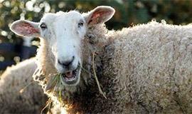 """英国一羊群误食大麻后集体""""傻笑"""""""